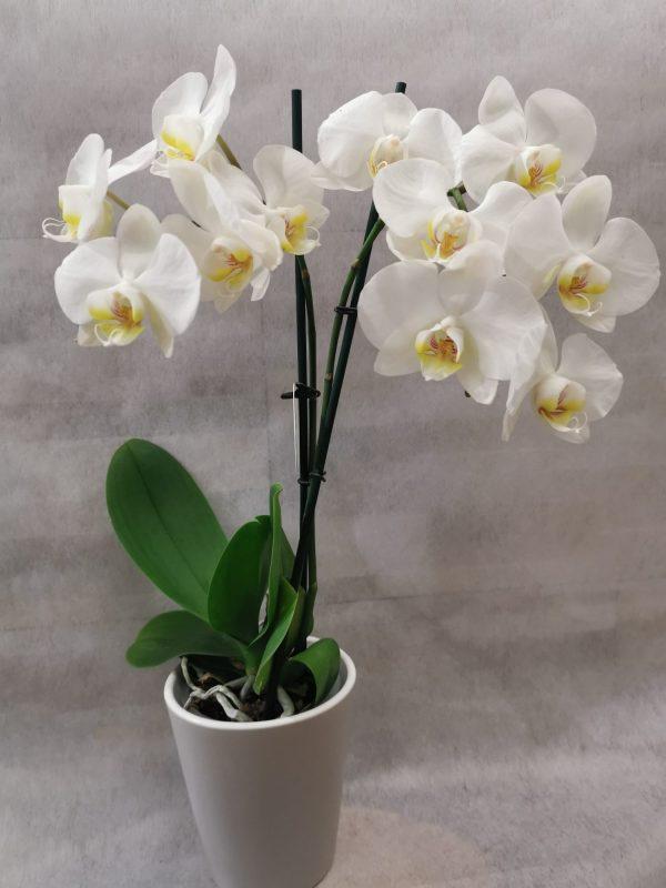 """Orchidee """"Phalaenopsis"""" 1"""