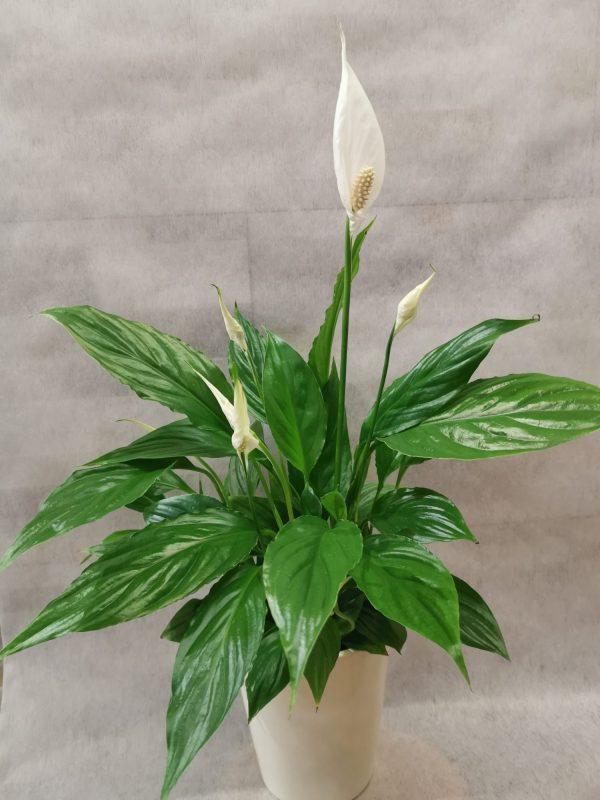 """Spathiphyllum """"Einblatt"""" 1"""