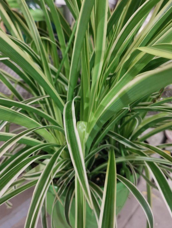 """Chlorophytum """"Grünlilie"""" 1"""