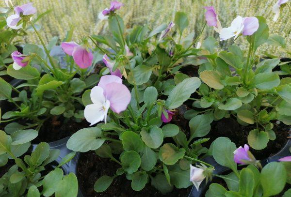 Stiefmütterchen 12 Stück lila-weiß 1