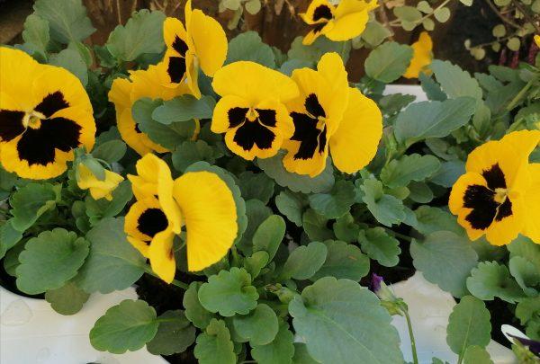 Stiefmütterchen 12 Stück gelb 1