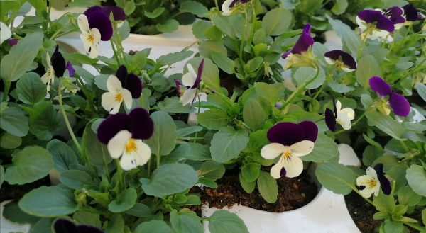 Stiefmütterchen 12 Stück violett-weiß 1