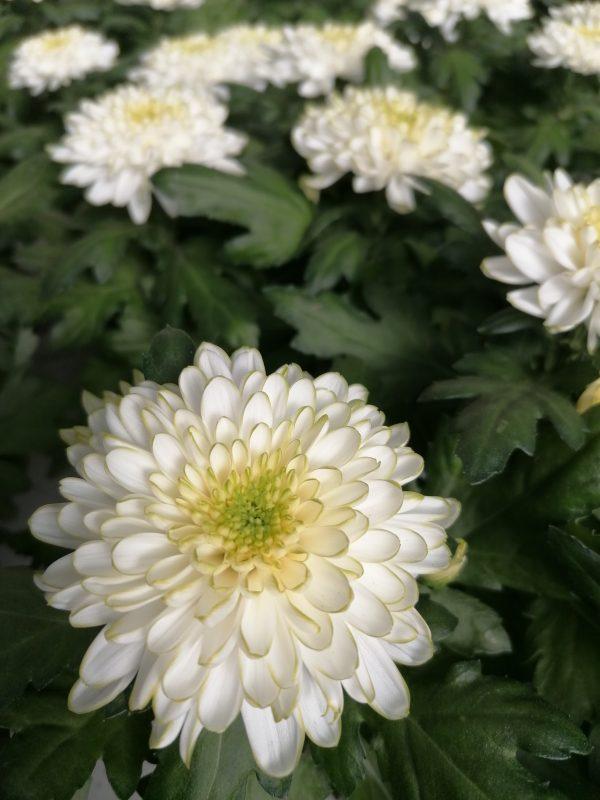 Chrysanthemenstock weiß 1