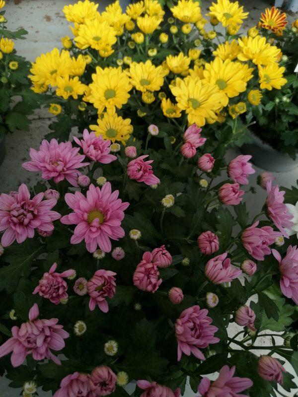 Chrysanthemenschale 1