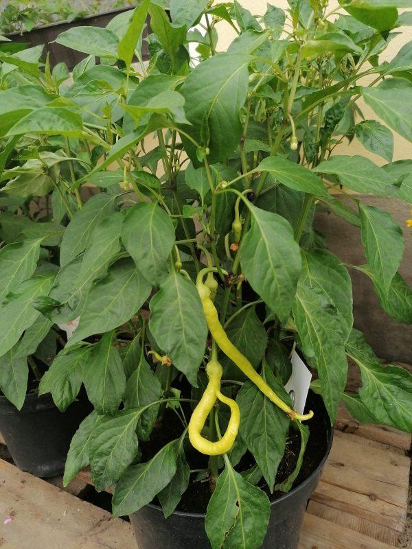 Topf mit Pfefferoni bepflanzt 1