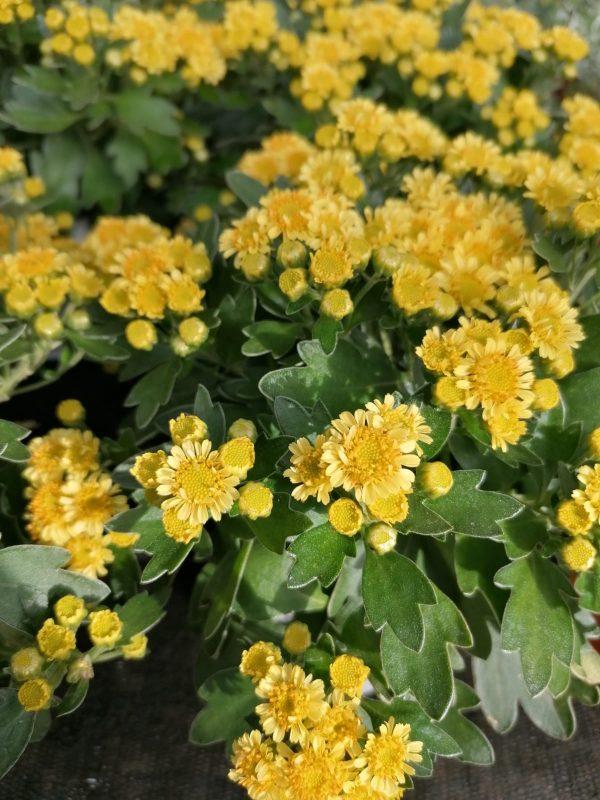 Knopfchrysantheme 1