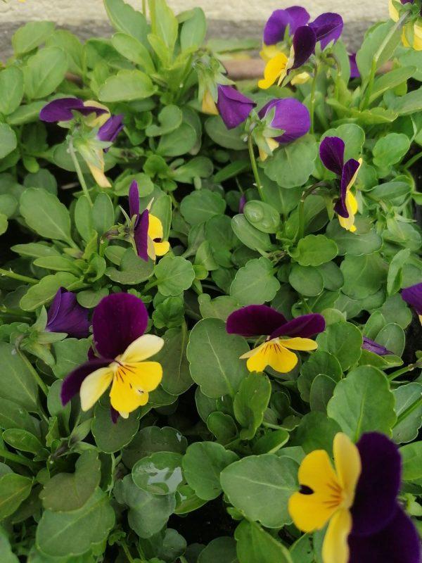 Stiefmütterchen violett-gelb kleinblütig 1