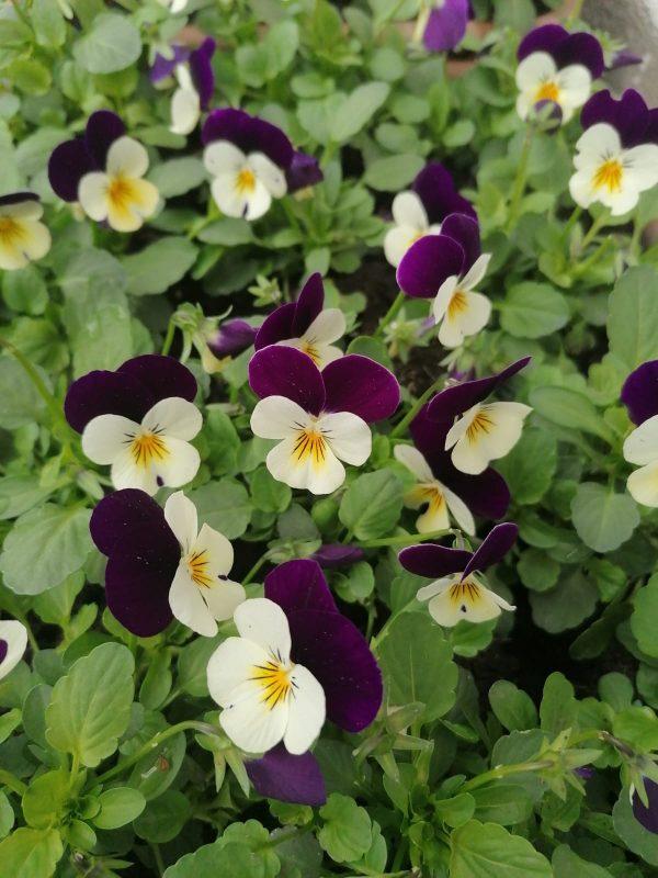 Stiefmütterchen violett-weiß kleinblütig 1