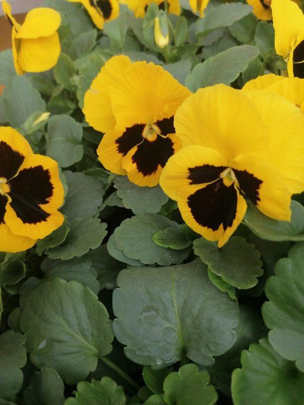 Stiefmütterchen gelb großblütig 1