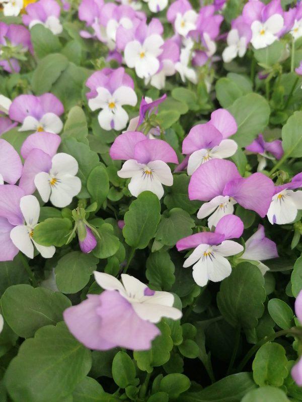 Stiefmütterchen lila-weiß kleinblütig 1